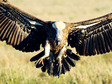 Munir Virani: Why I love vultures